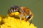 Colletes sp_Hans Juergen Sessner